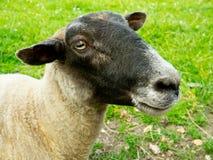 Chiuda in su di una testa degli sheeps Fotografie Stock Libere da Diritti