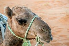 Chiuda su di una testa del cammello Fotografie Stock Libere da Diritti
