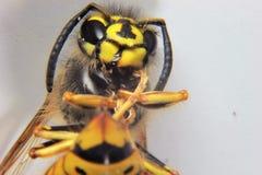 Chiuda su di una vespa Fotografia Stock