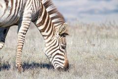 Chiuda su di una zebra che pasce nel campo seccato siccità Fotografia Stock