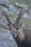 Chiuda in su di uno stambecco del capra sulle alpi italiane Fotografia Stock