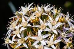Chiuda su di a uovo di fioritura della crassula conosciuto comunemente come la pianta della giada immagine stock libera da diritti