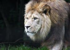 Chiuda su di vagar in cerca di predae la panthera africana maschio Leo del leone fotografia stock libera da diritti