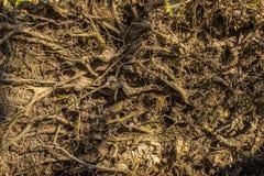 Chiuda su di vecchie radici stagionate dagli alberi sul pavimento della foresta immagine stock libera da diritti