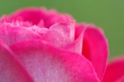 Chiuda su e dettaglio del fiore della rosa di rosa Fotografie Stock