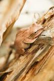 Chiuda su e metta a fuoco la rana dell'arbusto, il leucomystax del Polypedates, rana di albero/tipo di nebbia in natura Immagini Stock