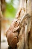 Chiuda su e metta a fuoco la rana dell'arbusto, il leucomystax del Polypedates, rana di albero/tipo di nebbia in natura Fotografia Stock
