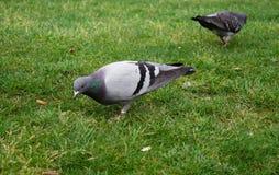 Chiuda su fotografia dalla colomba d'alimentazione immagini stock libere da diritti