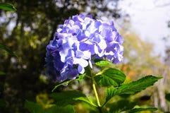 Chiuda su/fuoco al fiore porpora nel giardino, fondo astratto della natura Immagine Stock