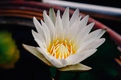 Chiuda su loto bianco e su polline giallo nella sera immagine stock libera da diritti