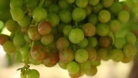 Chiuda su metraggio delle vigne/uve da tavola nella valle di Hexriver nel Sudafrica archivi video