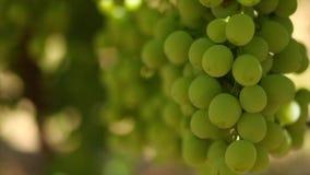 Chiuda su metraggio delle vigne/uve da tavola nella valle di Hexriver nel Sudafrica video d archivio