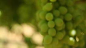 Chiuda su metraggio delle vigne/uve da tavola nella valle di Hexriver nel Sudafrica stock footage
