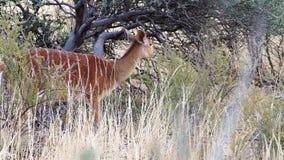 Chiuda su metraggio di una pecora del Nyala che si alimenta la spazzola nella regione di Kalahari di Sudafrica archivi video