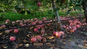 Chiuda su, molte mele cadute mature che si trovano sulla terra sotto di melo in un frutteto Autunno in anticipo Raccolta delle me stock footage
