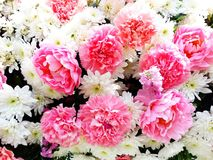 Chiuda su molti bei fiori rosa e bianchi immagini stock