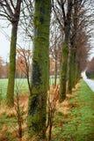Chiuda su, muschio sul tronco di albero Vecchi alberi con il lichene ed il muschio Immagine Stock Libera da Diritti