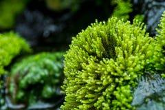 Chiuda su muschio verde fotografia stock