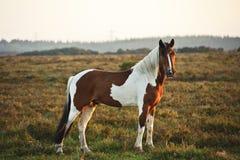 Chiuda in su nuovo del cavallino marrone e bianco della foresta Fotografia Stock
