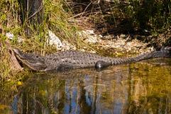 Chiuda su o un alligatore che riposa e che espone al sole su un litorale tropicale Immagine Stock Libera da Diritti