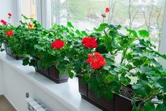 Chiuda su parecchi vasi dei fiori rossi del geranio sul davanzale Fuoco selettivo immagine stock libera da diritti
