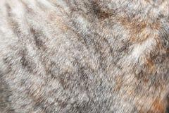 Chiuda su pelliccia di un gatto grigio Immagini Stock Libere da Diritti