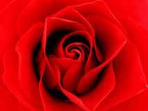 Chiuda su Rosa rossa Fotografie Stock