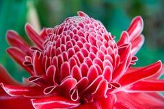 Chiuda su rosso di colore del fiore di elatior di etlingera in natura Immagine Stock