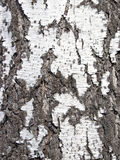 Chiuda su struttura della corteccia di una betulla Fotografia Stock