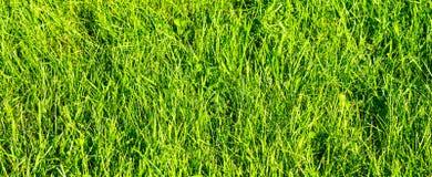 Chiuda su su erba verde fresca Immagine Stock