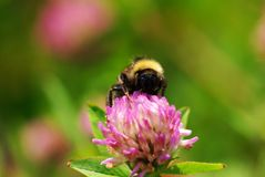 Chiuda in su su un ape di Bumble Immagine Stock