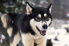 Chiuda su su un bello cane del husky Fotografie Stock Libere da Diritti