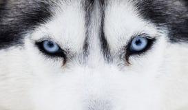 Chiuda su sugli occhi azzurri di un cane Fotografie Stock Libere da Diritti