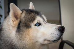 Chiuda su sugli occhi azzurri di un cane Fotografie Stock
