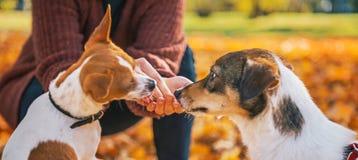 Chiuda su sui cani d'alimentazione della giovane donna all'aperto in autunno immagine stock