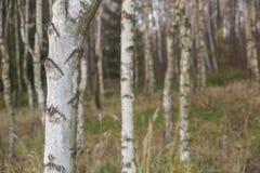 Chiuda su sui tronchi della betulla bianca sul fondo dell'erba gialla e verde nel legno immagini stock
