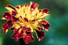 Chiuda su sul fiore rosso e giallo con le gocce di rugiada Immagine Stock