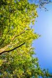 Chiuda su sul fogliame evidenziato delle foglie verdi degli alberi forestali della quercia in cielo blu con i raggi del sole che  Immagini Stock
