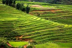 chiuda su sul giacimento verde intenso del riso, il PA del Sa, Vietnam Immagine Stock