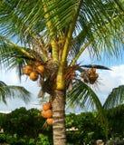 Chiuda in su sull'albero di noce di cocco fotografia stock