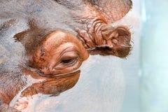 Chiuda su sull'ippopotamo parzialmente sommerso dell'occhio Fotografie Stock