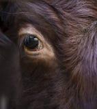 Chiuda su sull'occhio di un toro Fotografia Stock