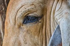 Chiuda su sulla mucca dell'occhio Immagini Stock Libere da Diritti