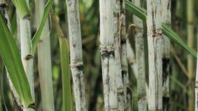 Chiuda su sulla pianta della canna da zucchero stock footage