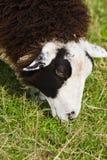 Chiuda in su sulla testa delle pecore macchiate marroni e bianche Fotografie Stock