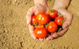 Chiuda su sulle mani che tengono i pomodori freschi Immagini Stock Libere da Diritti