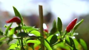 Chiuda su sulle piante di peperone dolce e dei peperoncini rossi al mercato dell'agricoltore stock footage
