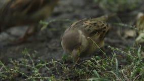 Chiuda su un colpo di due passeri che raccolgono i semi dell'erba Hobby di osservazione degli uccelli archivi video