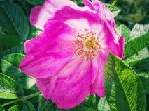 Chiuda su su un fiore rosa su un'estate del cespuglio Fotografia Stock