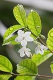 Chiuda su un gelsomino del fiore. sulla foto di riserva. Immagini Stock Libere da Diritti